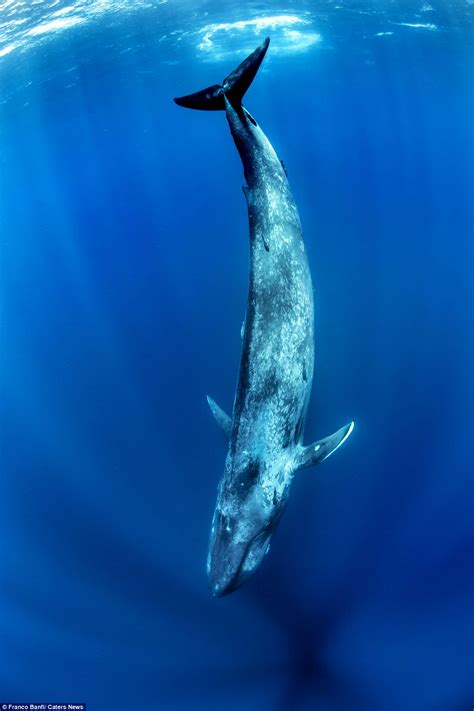 images of a whale photographer franco banfi captures images as he free dives