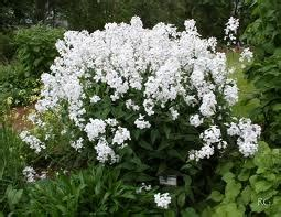 Alba At3911 35 best images about hesperis on gardens herbaceous border and cottage garden plants