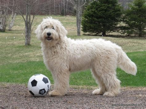 english goldendoodle 1000 images about goldendoodle on pinterest
