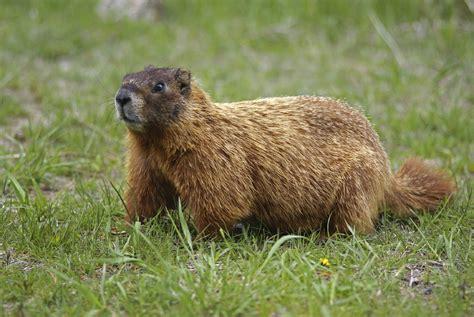 groundhog day utah woodchucks