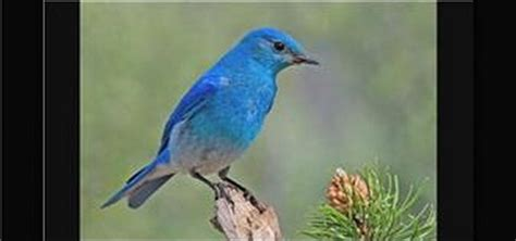 how to attract mountain bluebirds by building a house 171 birds