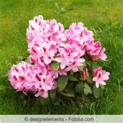Rhododendron Sonniger Standort by Rhododendron Pflanzen Rhododendronerde Pflanzzeit Und
