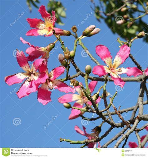 elisia bloemen bloemen van de boom van de zijde van de zijde chorisia