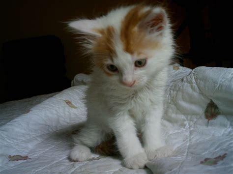 foto di gatti persiani bianchi gatti s o s gatto