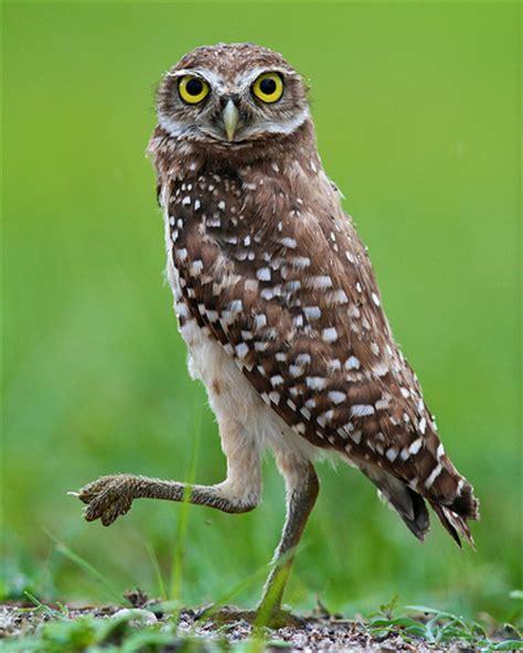 florida burrowing owl athene cunicularia floridana