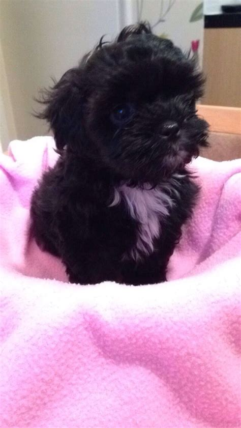 shih tzu puppies for sale orange county shih tzu poodle puppies for sale uk dogs our friends photo
