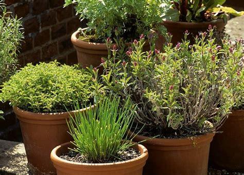 come coltivare basilico in vaso piante vaso piante da terrazzo coltivare piante in vaso