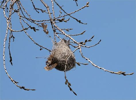 what birds make hanging nests