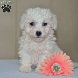 bichon frise puppies ohio bichon frise puppies for sale greenfield puppies
