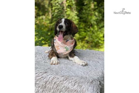 unfurnished bernedoodle puppy  sale  charlotte