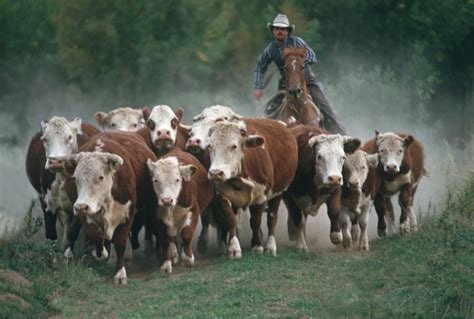 australian cattle cowboys the amazing life of a cowboy