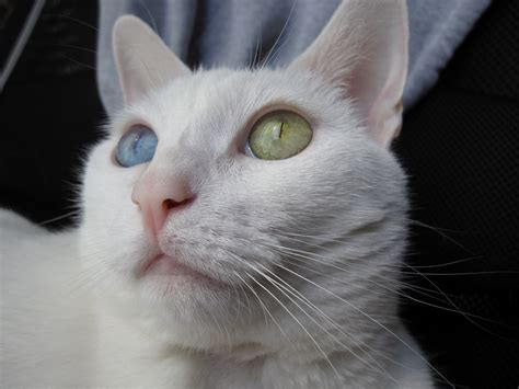 white cat with odd eyes odd eyed cat color genetics