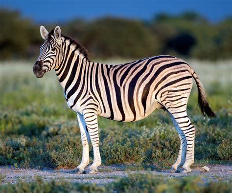 imagenes de animales cebra el enigma detr 225 s de las rayas de la cebra mito revista