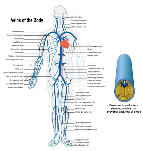 diagram of veins arteries and veins of the s