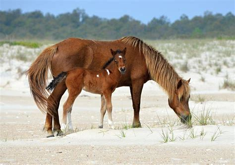 pony island picture7 12 10 2015 birth control approach on assateague tweaked