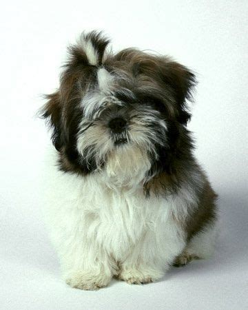animal planet dogs 101 shih tzu 19 best shih tzu images on dogs cutest animals and dogs