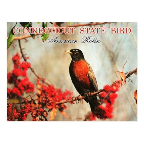connecticut state bird american robin zazzle