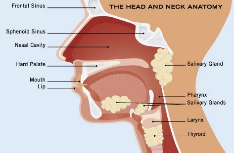 glands in the neck and throat diagram neck cancer surgery india low cost surgery at best