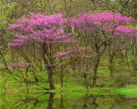 numerous redbud tree facts that make for an interesting read trees them and bud