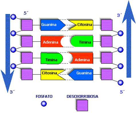 cantidad de cadenas del adn 191 hay alguien ah 237 ejercicio 1 adn y cromosomas tema 5