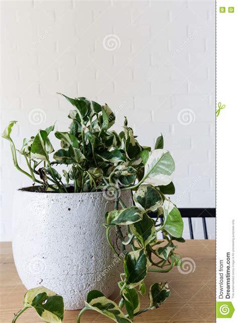 edera da vaso chiuda su di una pianta da vaso dell interno dell edera