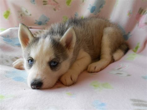 manhattan puppies siberian husky for sale in manhattan manhattan puppies kittens