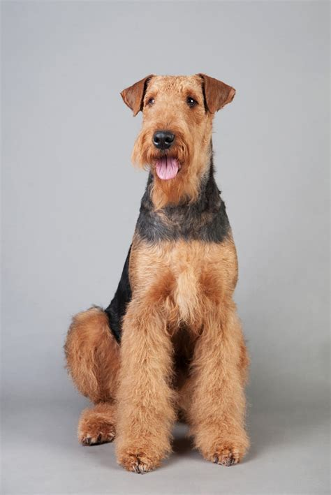 airedale cut the gallery for gt yorkshire terrier puppy cut