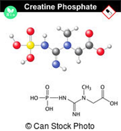 creatine phosphate definition phosphocreatine illustrations and clip 5