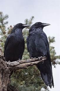 899 best ravens crows darkness images on pinterest