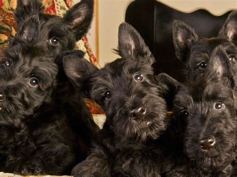 how can i tell how my puppy is how can i tell if my scottish terrier is