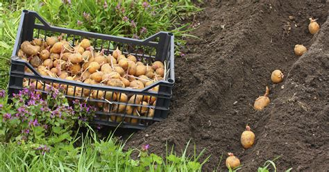 kartoffeln im garten kartoffeln pflanzen und ernten mein sch 246 ner garten
