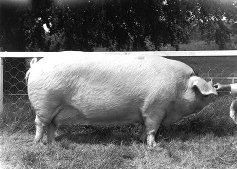major breeds breed standard gloucestershire spots pig breeders club
