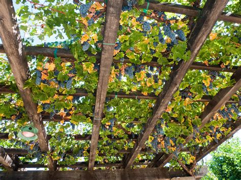 red grapes hanging from a trellis napa valley california by george oze