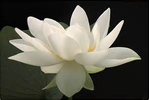 Lotus Flower White White Lotus Flower Flower Hd Wallpapers Images