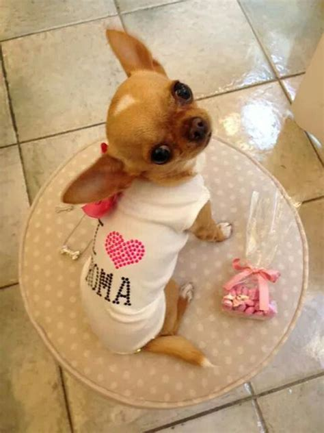 why do yorkies sleep so much the 25 best chihuahua puppies ideas on chiwawa teacup chihuahua and