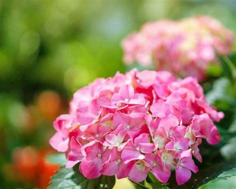 ortensia in vaso ortensia come coltivarla in vaso o in giardino breaknotizie