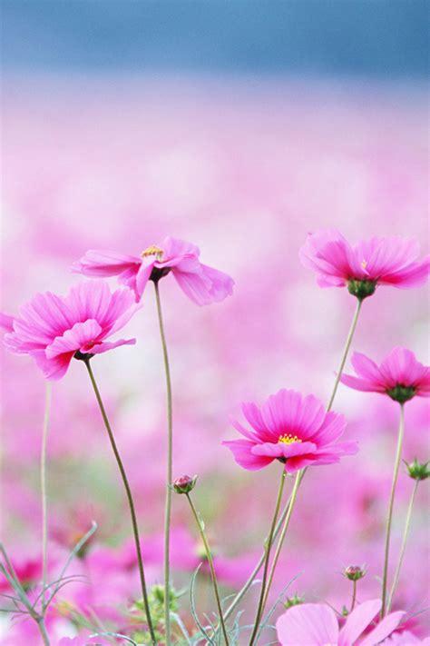 wallpaper flower iphone 4 pink flowers iphone wallpaper hd