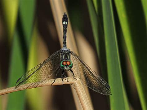 State Of Az Records Thornbush Dasher Arizona Dragonflies