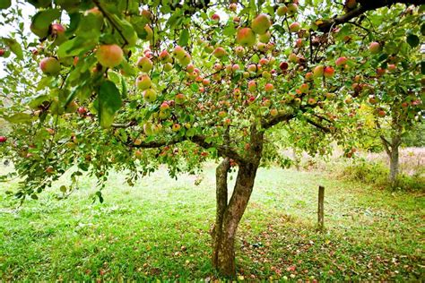 fruit tree planting guide fruit tree orchard planting guide