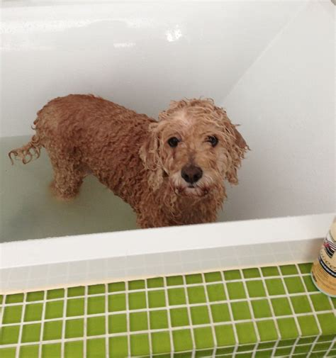 dog in a bathtub today i bathed my dog 4 times before lunch how s your day