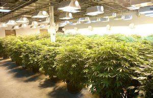 indoor pot production leaves giant carbon footprint