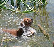 goldenloch golden retrievers skyriver golden retrievers field bred golden retriever puppies