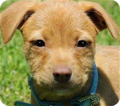 golden retriever schnauzer mix kernal pickering quot scruffy quot pup adopted puppy wakefield ri golden retriever