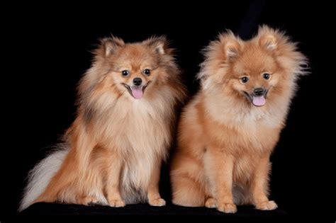 how much do pomeranian puppies cost how much do pomeranians cost simply for dogs