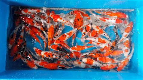 Grosir Bibit Ikan Koi ikan koi di