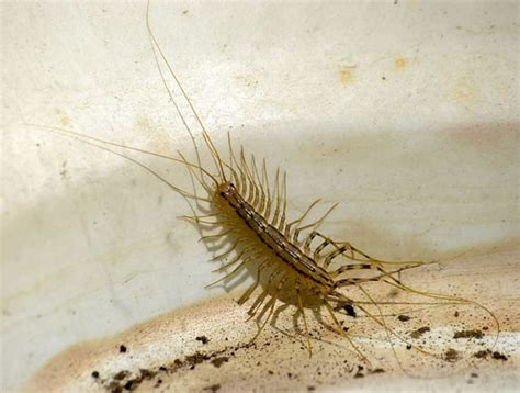 centipede in my bathroom never squish a centipede if you want to get rid of pests