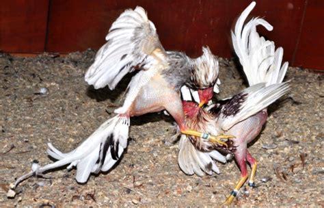 peleas de gallos finos 2015 peleas de gallo s finos cuba newhairstylesformen2014 com