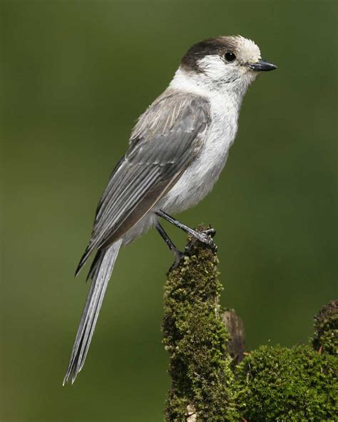 gray jay audubon field guide