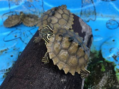 Northern Black Knobbed Map Turtle by Products Omni Reptiles