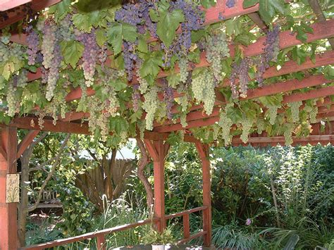 how to build a grape vine support the natural roof
